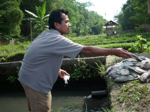 petani ikan mengumpulkan ikan-ikan yang sudah mati